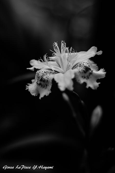 花のある風景 シャガの雰囲気_b0133053_053924.jpg