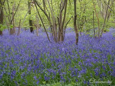 Bluebellを見にオスタリーパークへ_f0238789_1464925.jpg