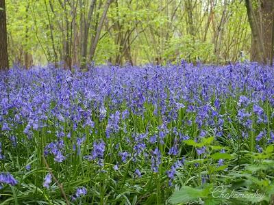 Bluebellを見にオスタリーパークへ_f0238789_146640.jpg