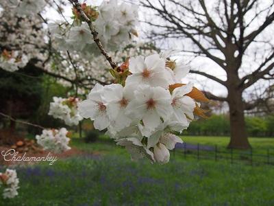 Bluebellを見にオスタリーパークへ_f0238789_150738.jpg