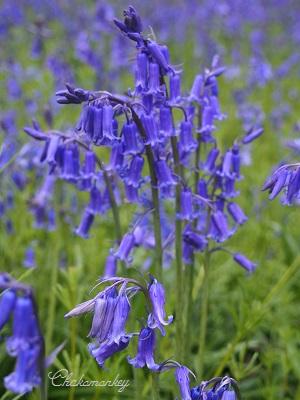 Bluebellを見にオスタリーパークへ_f0238789_156217.jpg