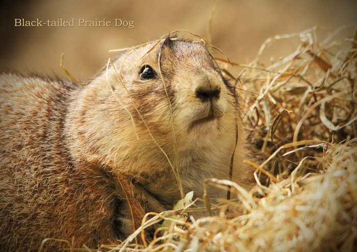オグロプレーリードッグ:Black-tailed Prairie Dog _b0249597_9583928.jpg