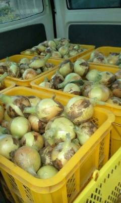 こんなにでかい玉ねぎが収穫出来たよ。_d0026905_157628.jpg