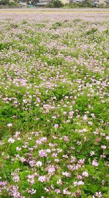 れんげ畑(中平)_f0354314_15400116.png