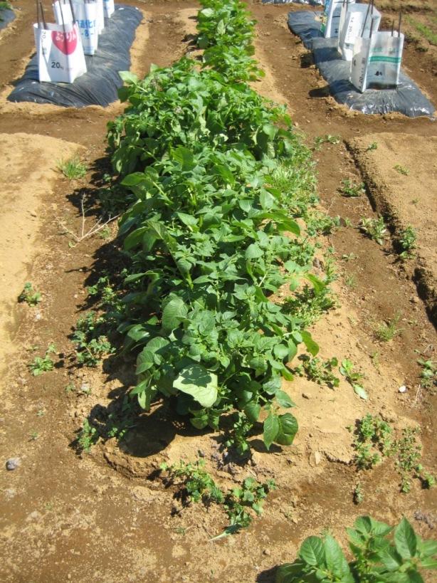 野菜づくりNO6_e0143416_7125456.jpg