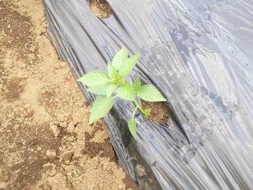夏野菜の植え付けです(二度目)_b0137932_21493460.jpg