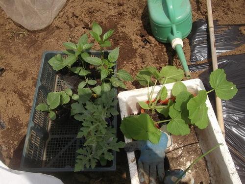 夏野菜の植え付けです(二度目)_b0137932_21552511.jpg