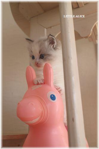 ☆ラグド-ルの仔猫・・なかよしさん。_c0080132_10103797.jpg