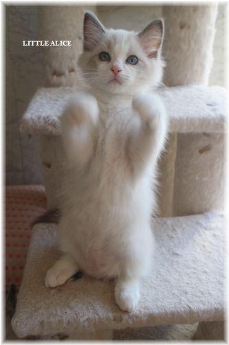 ☆ラグド-ルの仔猫・・なかよしさん。_c0080132_10181073.jpg