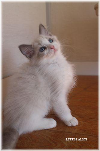 ☆ラグド-ルの仔猫・・なかよしさん。_c0080132_1023852.jpg