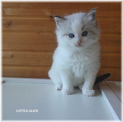 ☆ラグド-ルの仔猫・・なかよしさん。_c0080132_1044620.jpg