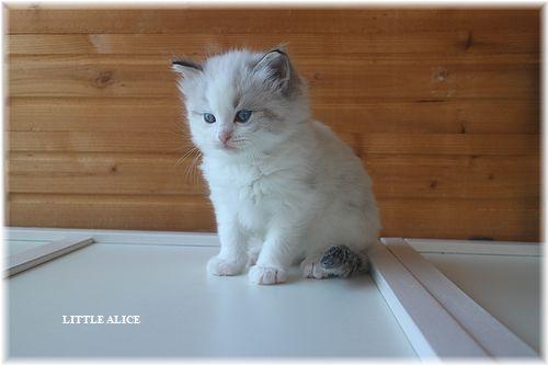 ☆ラグド-ルの仔猫・・なかよしさん。_c0080132_105026.jpg