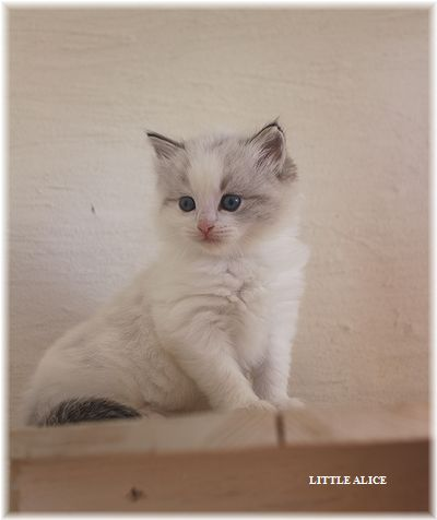 ☆ラグド-ルの仔猫・・なかよしさん。_c0080132_1054018.jpg