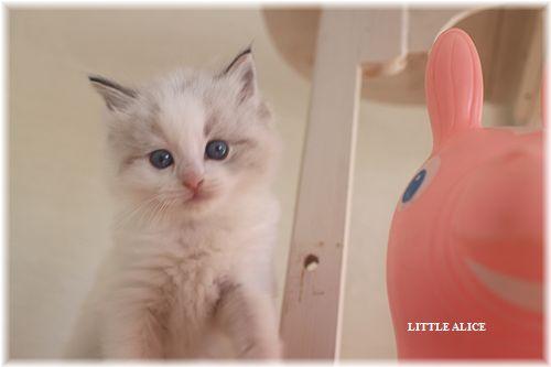 ☆ラグド-ルの仔猫・・なかよしさん。_c0080132_1055755.jpg