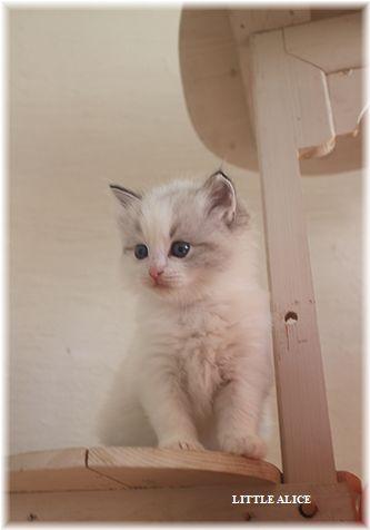 ☆ラグド-ルの仔猫・・なかよしさん。_c0080132_1062997.jpg