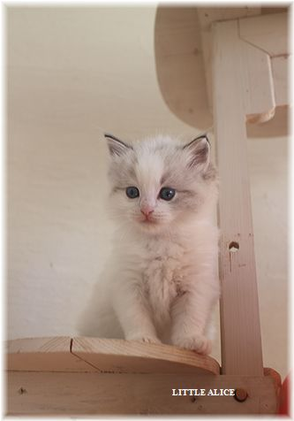 ☆ラグド-ルの仔猫・・なかよしさん。_c0080132_1065538.jpg