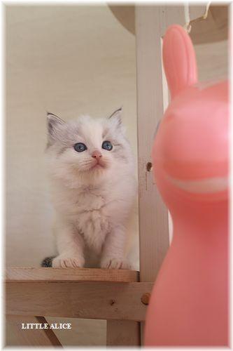 ☆ラグド-ルの仔猫・・なかよしさん。_c0080132_1071882.jpg