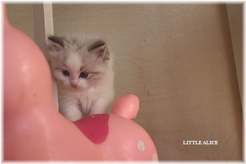 ☆ラグド-ルの仔猫・・なかよしさん。_c0080132_1074896.jpg