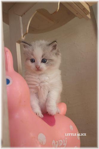 ☆ラグド-ルの仔猫・・なかよしさん。_c0080132_1084949.jpg
