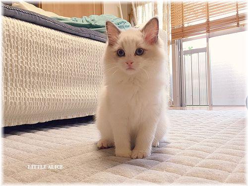 ☆ラグド-ルの仔猫・・なかよしさん。_c0080132_9481238.jpg