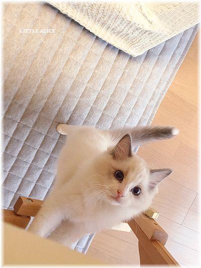 ☆ラグド-ルの仔猫・・なかよしさん。_c0080132_9503689.jpg