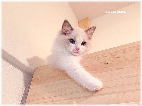 ☆ラグド-ルの仔猫・・なかよしさん。_c0080132_950502.jpg