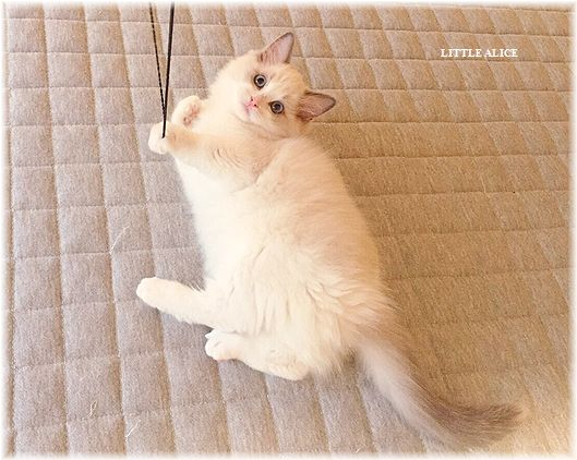 ☆ラグド-ルの仔猫・・なかよしさん。_c0080132_951642.jpg