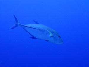 タヒチ~ランギロアブルーの海へ④_f0233340_1554160.jpg