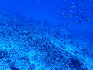 タヒチ~ランギロアブルーの海へ④_f0233340_15575846.jpg