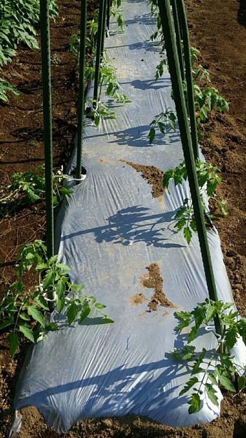 トマトの畝櫓作り第2弾です・・ ズッキーニの花が付いてきました_c0222448_11280438.jpg