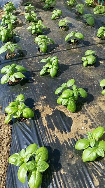 トマトの畝櫓作り第2弾です・・ ズッキーニの花が付いてきました_c0222448_11284958.jpg