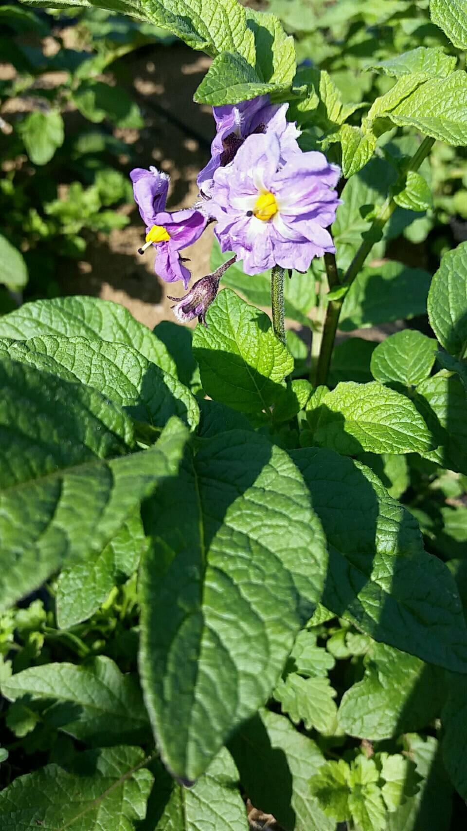トマトの畝櫓作り第2弾です・・ ズッキーニの花が付いてきました_c0222448_11290932.jpg