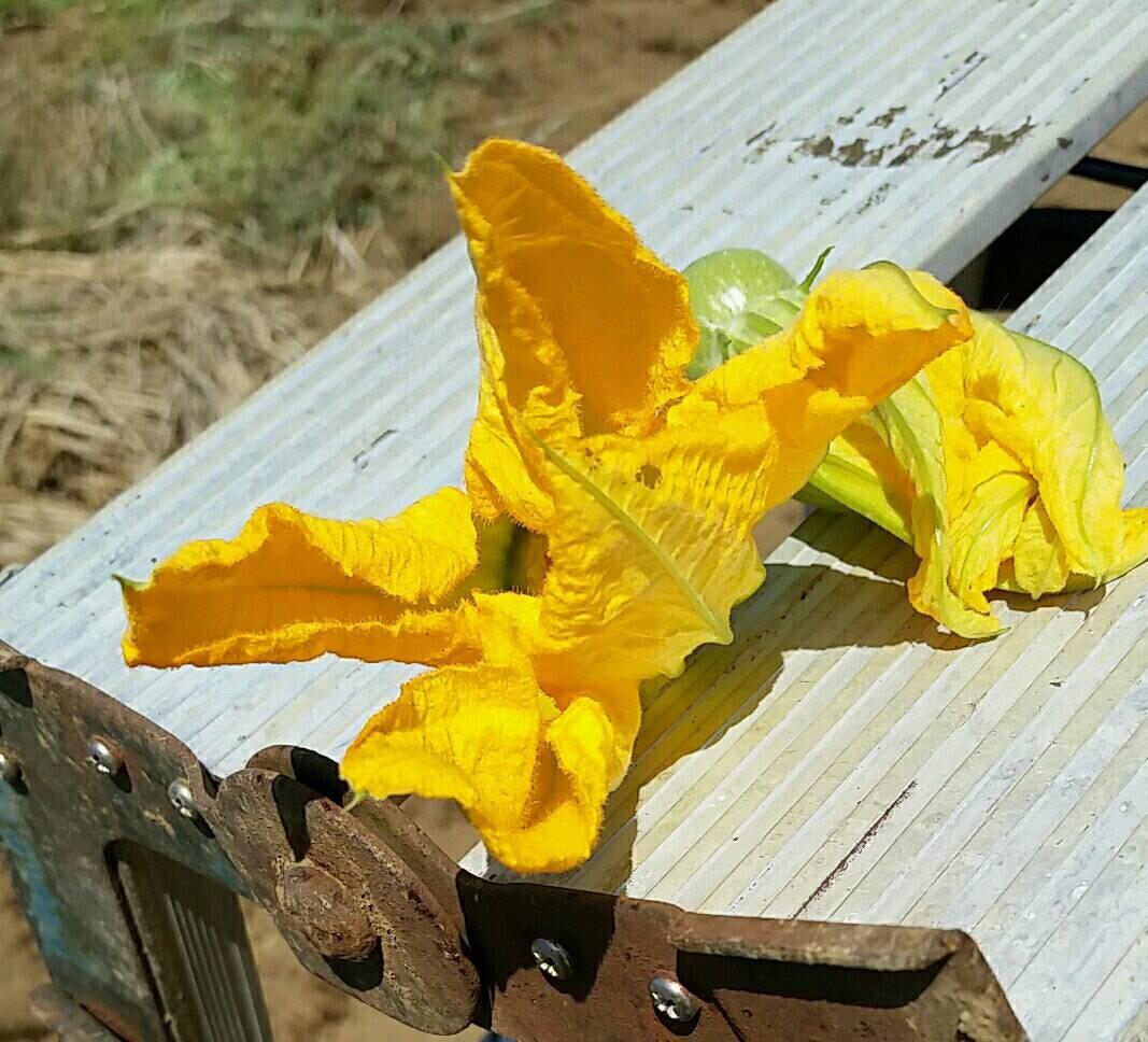 トマトの畝櫓作り第2弾です・・ ズッキーニの花が付いてきました_c0222448_11372585.jpg