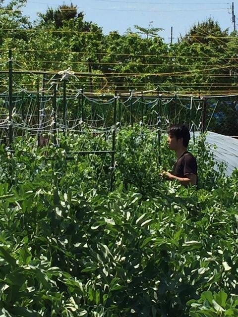 トマトの畝櫓作り第2弾です・・ ズッキーニの花が付いてきました_c0222448_15300200.jpg