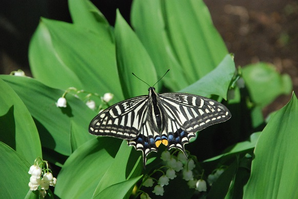 swallowtail butterfly♪_d0135762_2039545.jpg