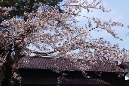 2016年4月30日㈯今朝の函館の気温と天気は。五稜郭公園で花見、その後は箱館奉行所売店へ_b0106766_07495162.jpg