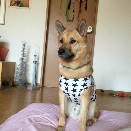 中型犬の洋服_c0364176_19301786.jpeg