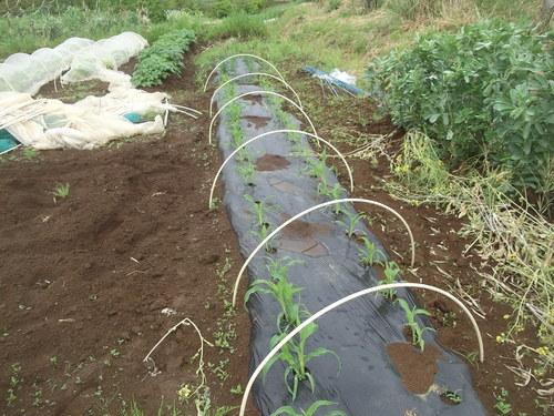 夏野菜の植え付けです(二度目)_b0137932_2257042.jpg