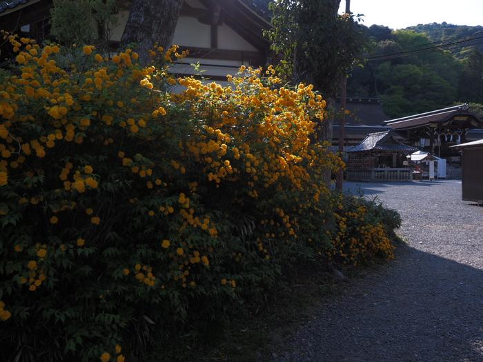 山吹 2016 松尾大社 _f0021869_0215444.jpg