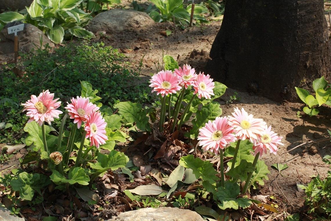 福岡中央公園の花 その5                 ~アヤメ、ガーベラ、マーガレット、ブルーデージー、ナデシコ~_a0107574_20140752.jpg
