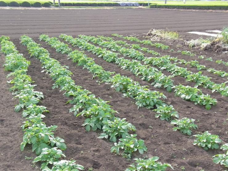 エンドウマメ収穫_d0225575_1757658.jpg