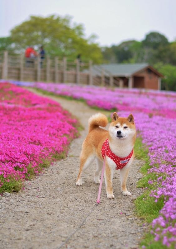 芝桜_a0126590_20581210.jpg