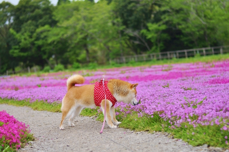 芝桜_a0126590_20581906.jpg