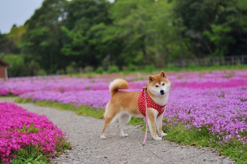 芝桜_a0126590_20582954.jpg