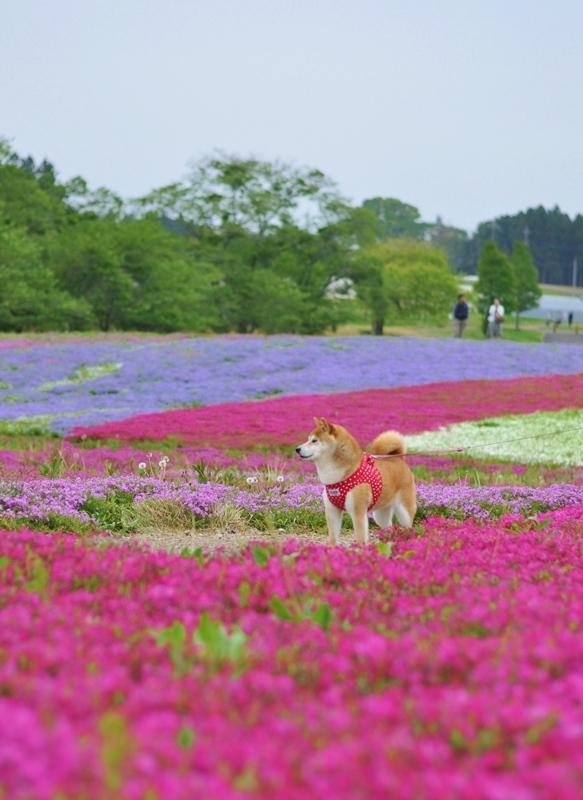 芝桜_a0126590_20583920.jpg