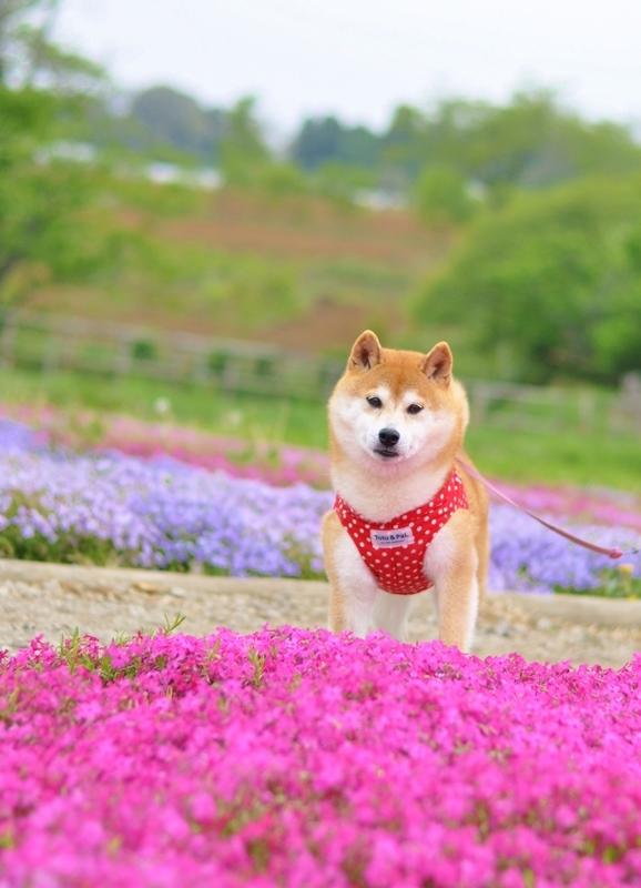 芝桜_a0126590_20584825.jpg