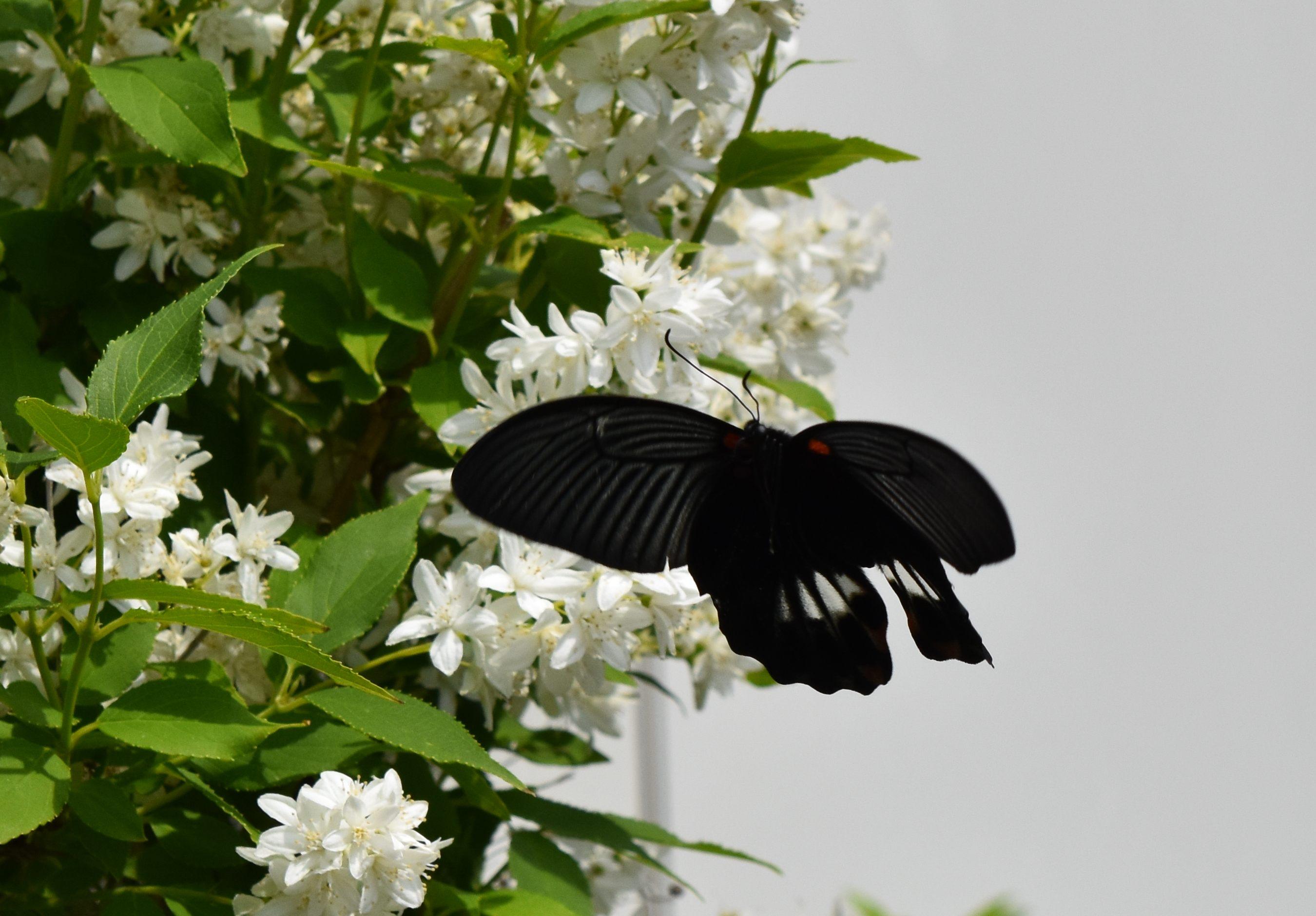 ナガサキアゲハ 5月1日_d0254540_1653275.jpg