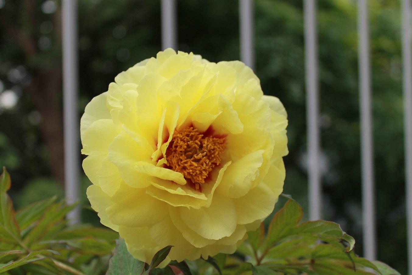 蘭香茶館の黄金牡丹花も満開しました。_f0070743_1412331.jpg