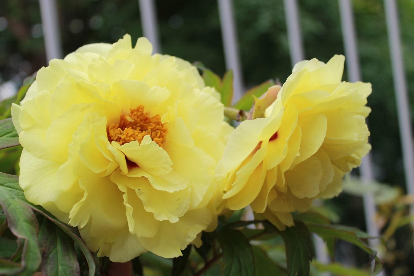 蘭香茶館の黄金牡丹花も満開しました。_f0070743_14124783.jpg