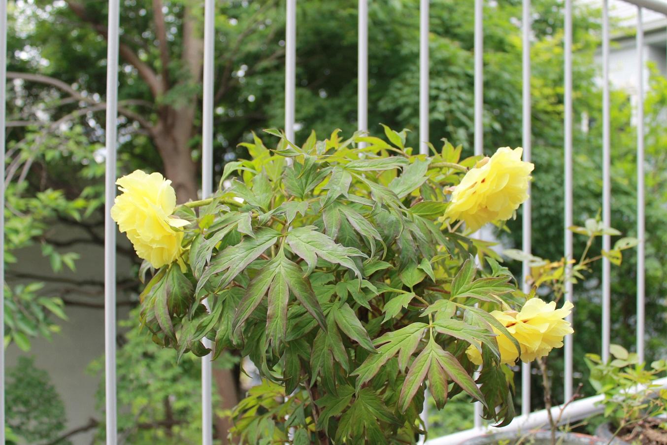 蘭香茶館の黄金牡丹花も満開しました。_f0070743_1413116.jpg